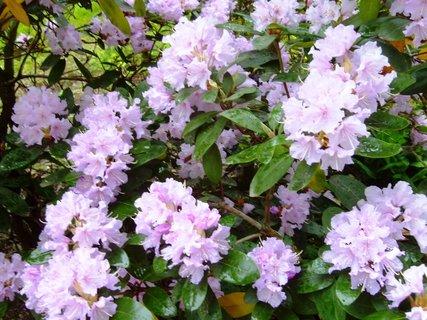 FOTKA - rozkvetlý rododendron