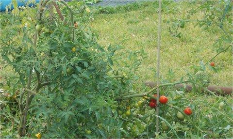 FOTKA - včera, soused má ještě rajčata venku