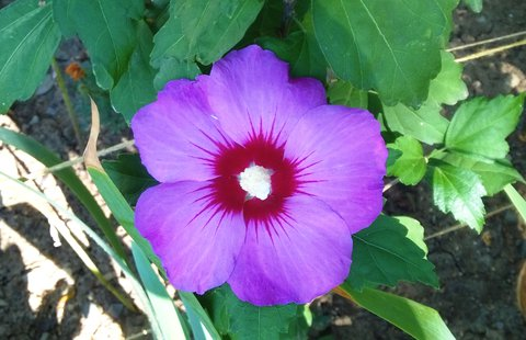 FOTKA - květ zahrad. ibišku