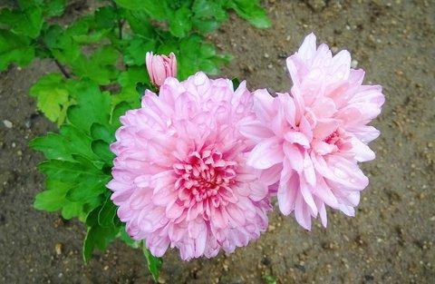FOTKA - růžová chryzantéma
