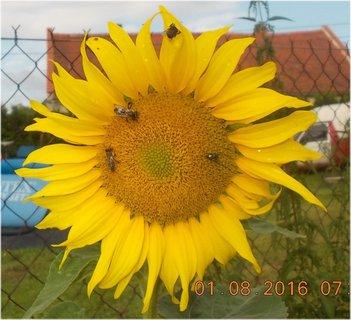 FOTKA - obsazeno na slunečnici broukama a včelkama