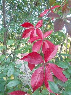 FOTKA - rudé listy v zeleni vynikají krásně