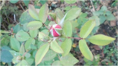 FOTKA - i druhá růže je s poupaty ještě