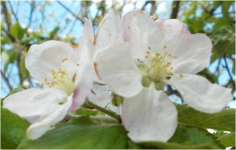 FOTKA - vzpomínka na jabloňové květy