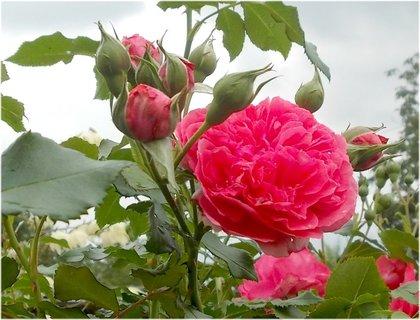 FOTKA - přijde na jaře opět krása růží