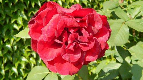 FOTKA - červená růžička v zámeckém parku