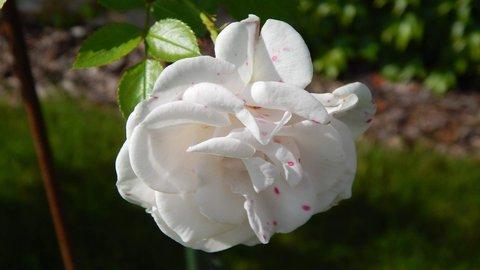 FOTKA - původně bílá růže