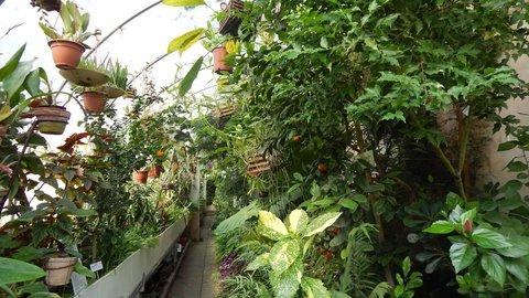 FOTKA - mandarinky v zámeckém skleníku