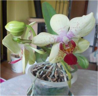 FOTKA - nové květy a jsou jemně do zelinkava