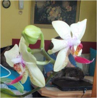 FOTKA - t�et� orchidejka znovu kvete