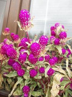 FOTKA - z dáli vypadají květy jako maliny