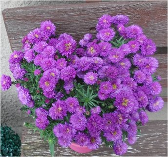 FOTKA - sousedky krása fialová