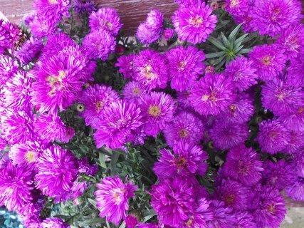 FOTKA - detail růžovo-fialinkové krásy květů