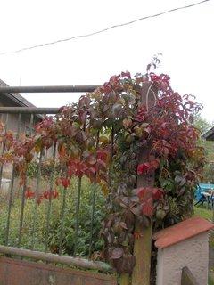 FOTKA - podzim na plot� v barv�ch kr�sn�ch