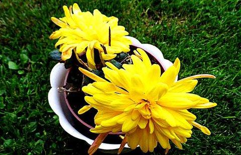 FOTKA - Co to je, je to žluté, kvete to a nemá listy?????