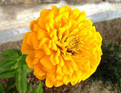 FOTKA - cínie - žlutá plnokvětá