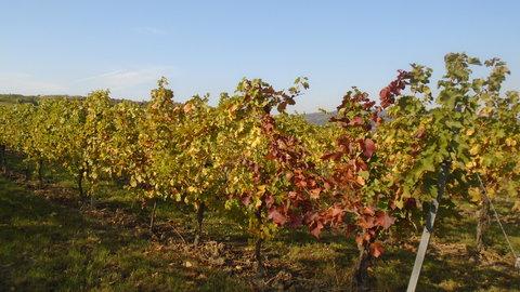 FOTKA - na vinici