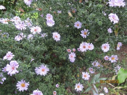 FOTKA - Drobné květy astřiček