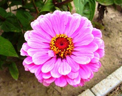 FOTKA - růžová cínie