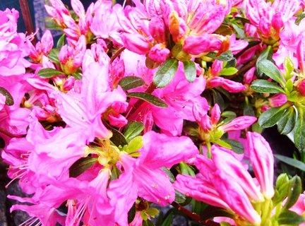 FOTKA - krásná růžová