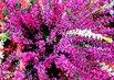 v květináči ..vřes