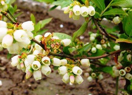 FOTKA - kvetoucí zahr. borůvka