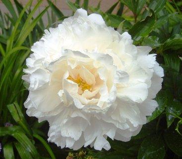 FOTKA - pivoňkový květ