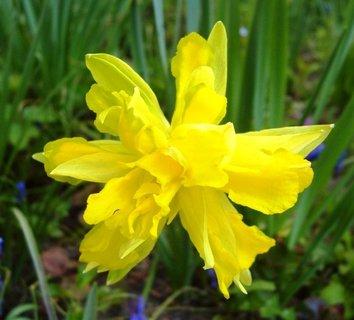 FOTKA - žlutá narciska