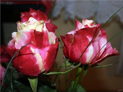 FOTKA - Dve ruže