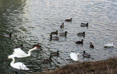 FOTKA - včera u labutí