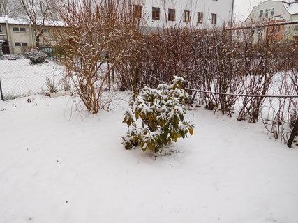 FOTKA - Zasněžený rododendron (2.1.)