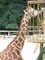 Žirafy3
