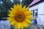 slunečnice na zahrádce
