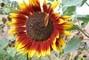 hnědá slunečnice