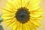 zářivá slunečnice
