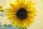 svítivá slunečnice