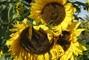 podzimní slunečnice