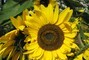 rozzářené slunečnice