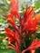 květ canny