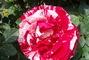 strakatá růže