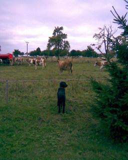 FOTKA - Ája a kravičky