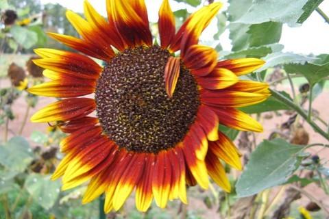 FOTKA - hnědá slunečnice