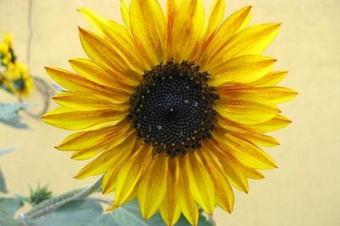 FOTKA - svítivá slunečnice