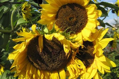 FOTKA - podzimní slunečnice