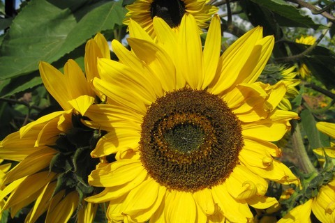 FOTKA - rozzářené slunečnice