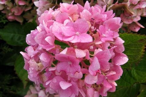 FOTKA - hortenzie zahradní