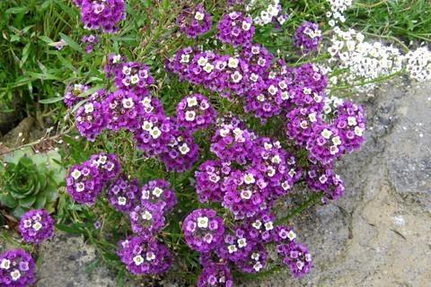 FOTKA - fialová skalnička