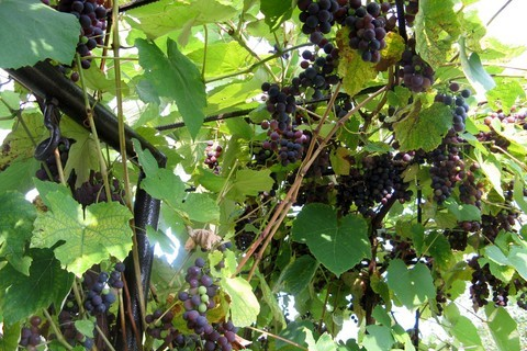 FOTKA - hroznové víno