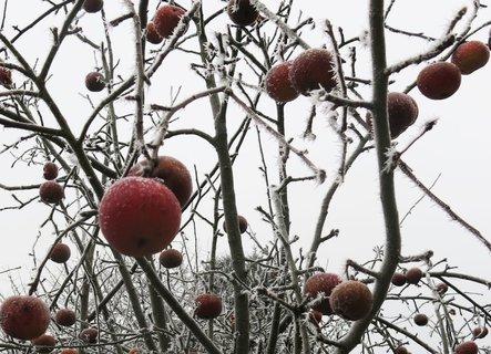 FOTKA - Zmrzlá jablíčka