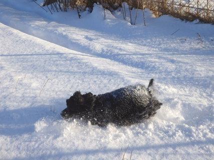 FOTKA - lednové procházky-Dorinka vlítla do sněhu